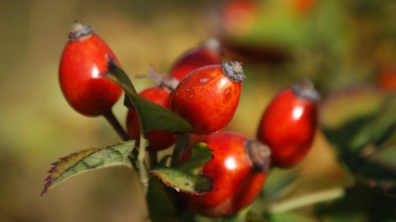 Šípky: Zoznámte sa s úžasnými účinkami tejto rastliny