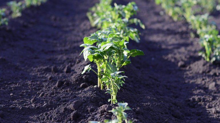 tipy na zlepšenie úrody zemiakov