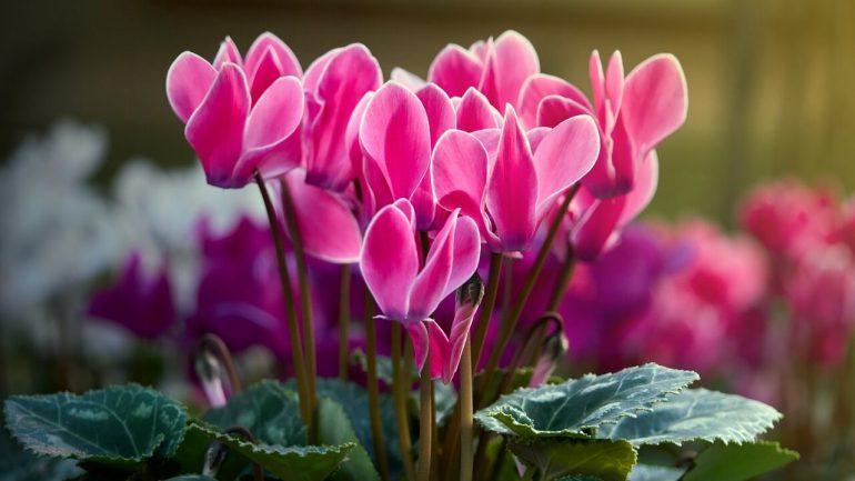 Hnojivo pre váš cyklámen, takto podporíte jeho kvitnutie