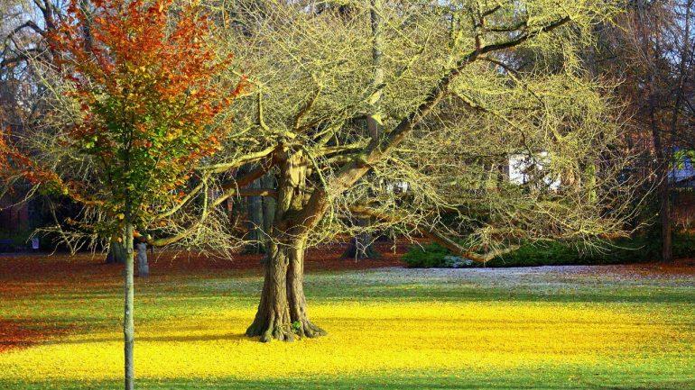 Ginko biloba – matuzalemský strom, ktorý navracia pamäť