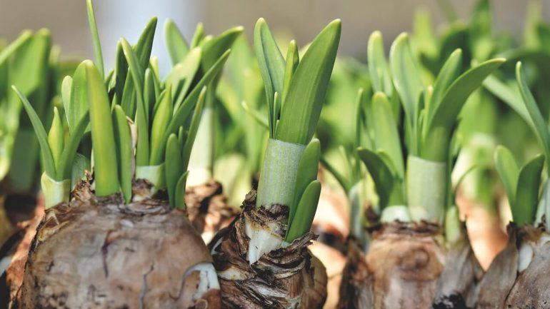 Jar vo vašom dome? Takto vaše cibuľky zakvitnú