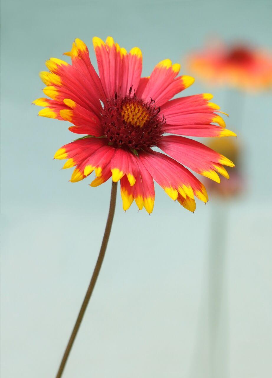 14 odrôd trvaliek, ktoré sa dajú pestovať zo semena