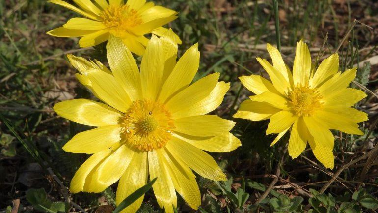 vzácne poklady jari, ktoré možno máte vo svojej záhrade