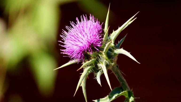 Zázračný bodliak pestrec: Jeho pestovanie a využitie