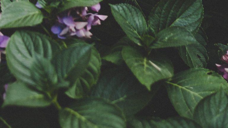 6 dôvodov, prečo vaša hortenzia nekvitne, I.