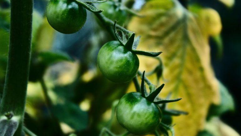 Najčastejšie choroby paradajok, ktorým sa dá vyhnúť, č. II