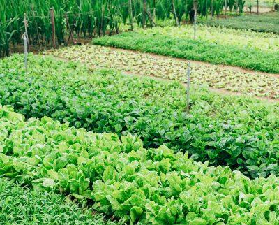 chyby pri pestovaní šalátu