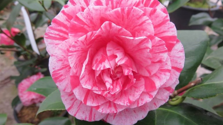 Nádherné kamélie: Objavte čaro ich pestovania