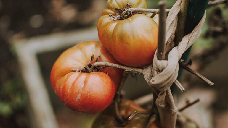 10 chorôb paradajok a znaky, ako ich rozpoznať