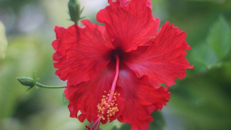 Ibištek čínsky a jeho pestovanie, takto vás obdarí kvetmi