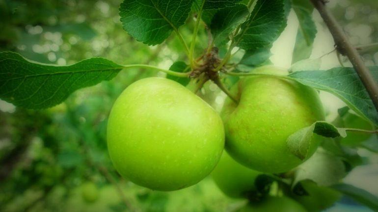 Základné preventívne tipy, ako udržať jablone zdravé