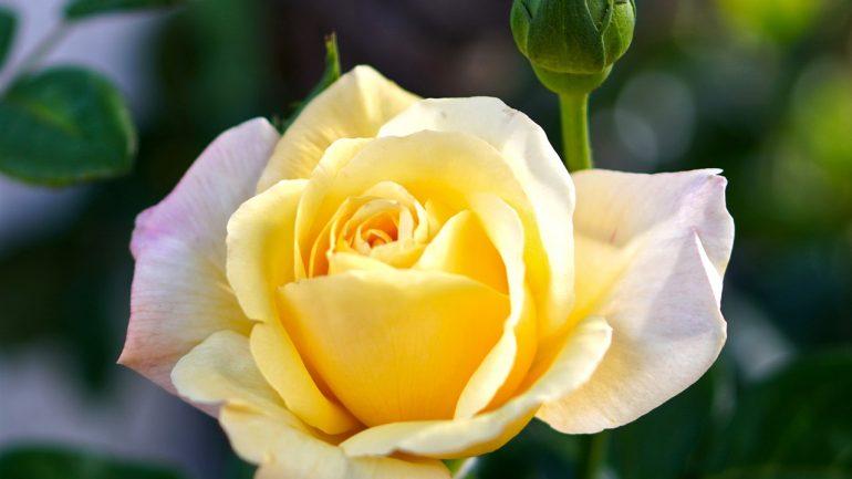 Pestovanie ruží na balkóne: Takto budú krásne