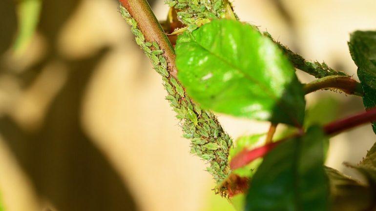 príznaky poškodenia vošiek na rastlinách