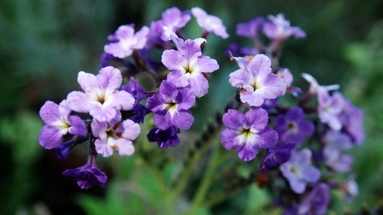 Kvety heliotropov: Spoznajte krásky, ktoré sa obracajú k slnku