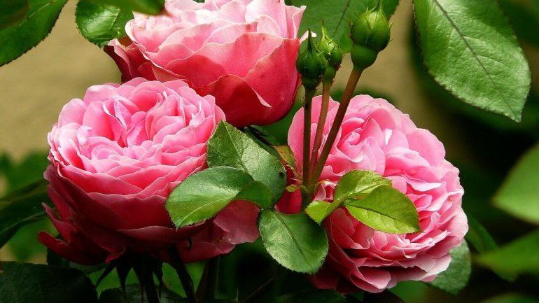 Voňavé ruže: Tieto krásky prevoňajú vašu záhradu
