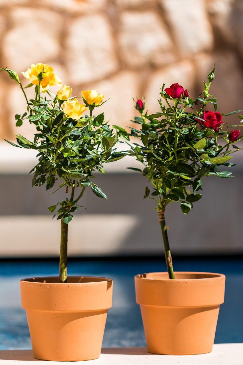 Pestovanie ruží na balkóne