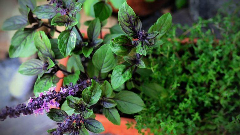 6 liečivých byliniek pre lepšie zdravie vašich sliepok