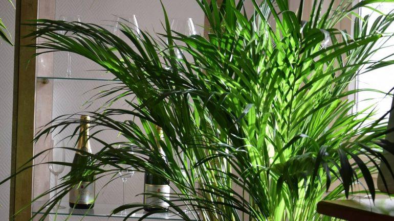 Pestujeme palmy: Elegantná hovea forsterova