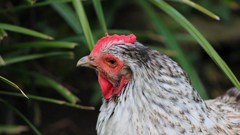 Pestujte liečivé bylinky pre vaše sliepky, budú zdravšie