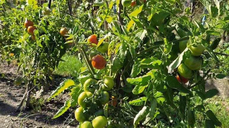 Ako mať zdravé rajčiaky až do jesene