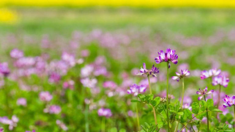 5 zázračných účinkov Astragalusa – bájnej rastliny z Číny