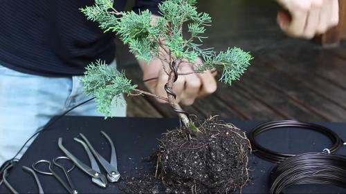 Ako si urobiť bonsaj z jedličky alebo tuje.