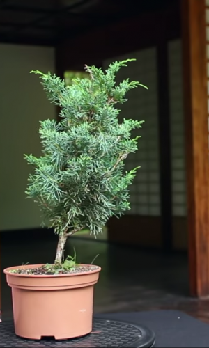Ako si urobiť bonsaj