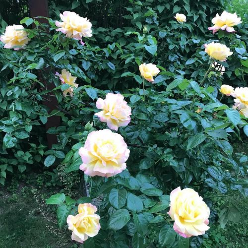 Ruža veľkokvetá - Floribunda