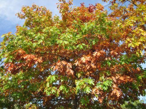 dub červený