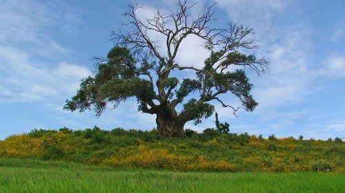 strom v Etiópii, zdroj: pixabay.com